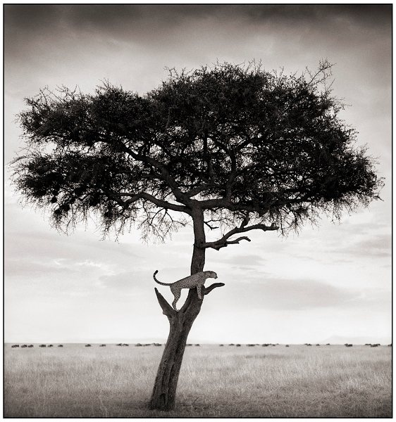 89200812534856Cheetah_in_Tree