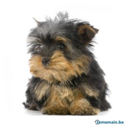 56168977_5-yorkshire-terrier