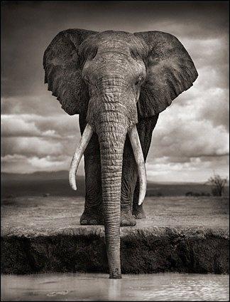 elephant_drinking
