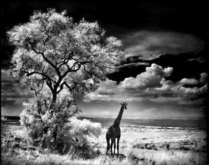 giraffe_wideweb__430x341%2C0
