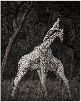 Giraffes_Battling_in_Forest