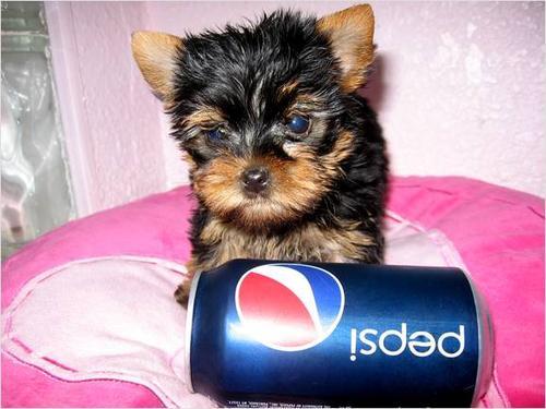 akc-enregistres-tasse-yorkshire-terrier-pour-adoption-free-marktgigant1