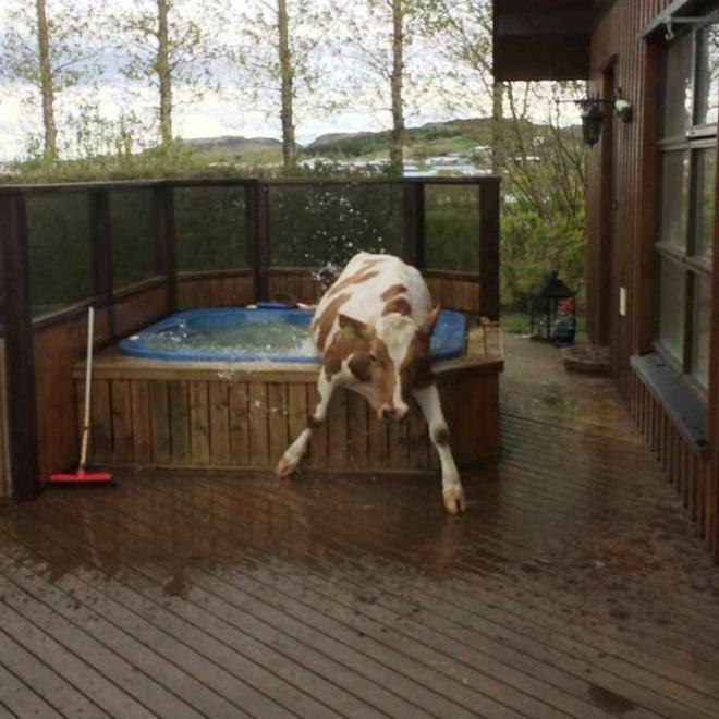 cow-L