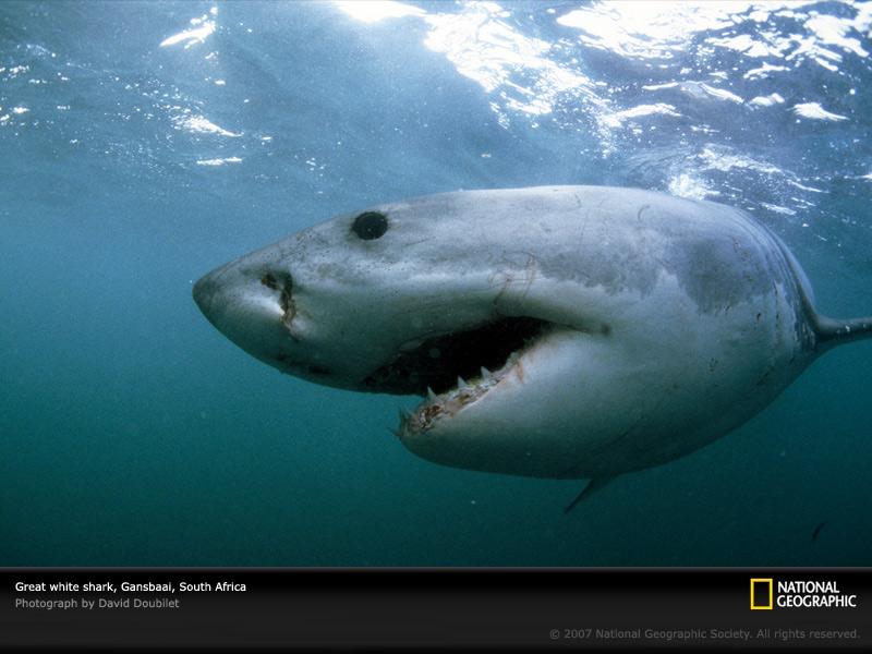 great-white-shark-gansbaai-703796-sw