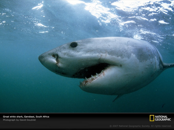 great-white-shark-gansbaai-703796-sw