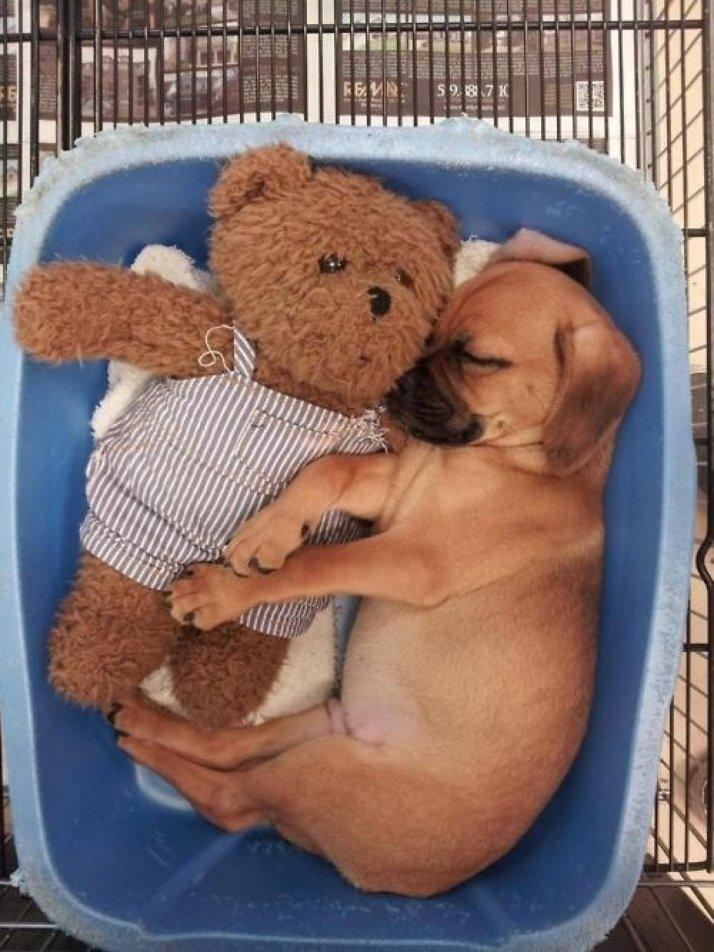 ces-35-chiens-trop-mignons-qui-dorment-avec-des-peluches-177055