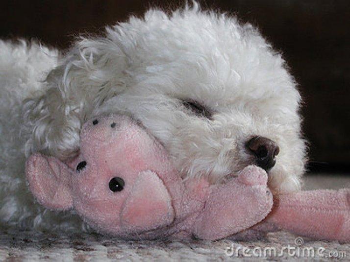 ces-35-chiens-trop-mignons-qui-dorment-avec-des-peluches-241528