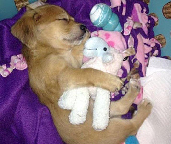 ces-35-chiens-trop-mignons-qui-dorment-avec-des-peluches-248297
