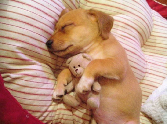 ces-35-chiens-trop-mignons-qui-dorment-avec-des-peluches-456033