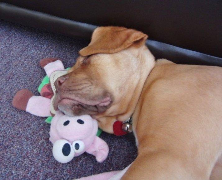 ces-35-chiens-trop-mignons-qui-dorment-avec-des-peluches-470377