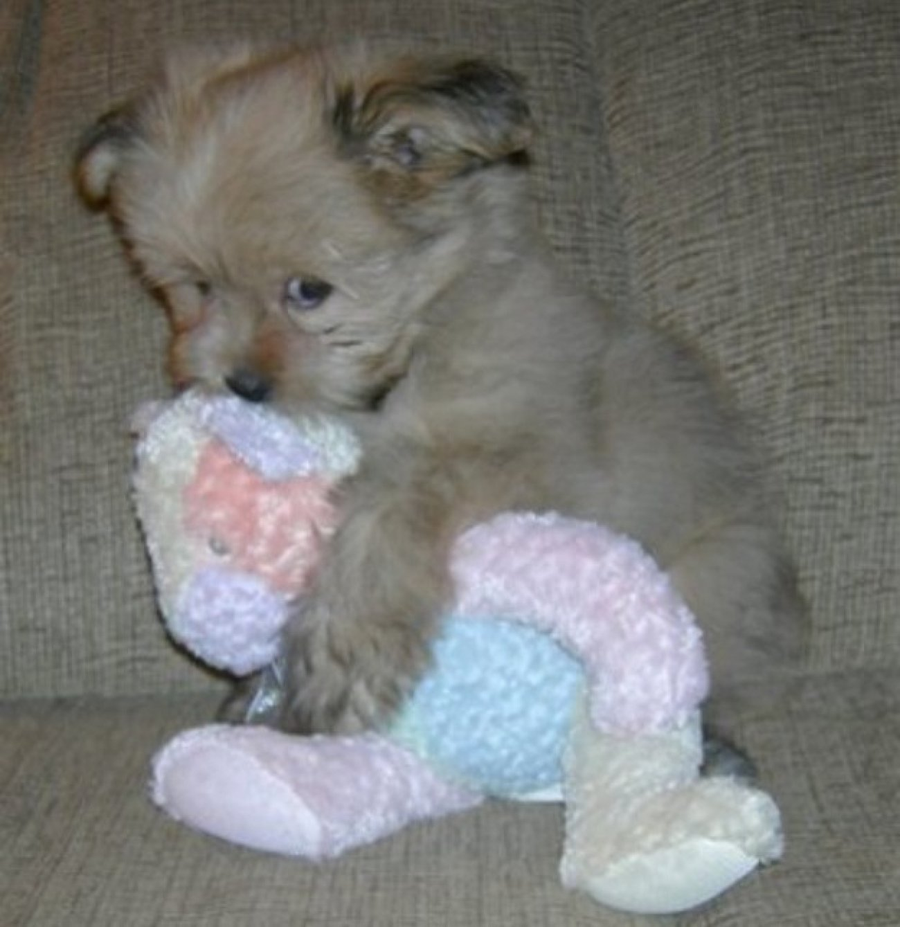 ces-35-chiens-trop-mignons-qui-dorment-avec-des-peluches-496403