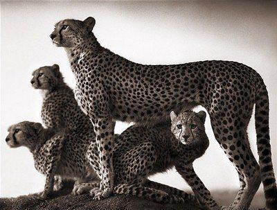 cheetah_and_cubs_maasai_-_nick_brandt