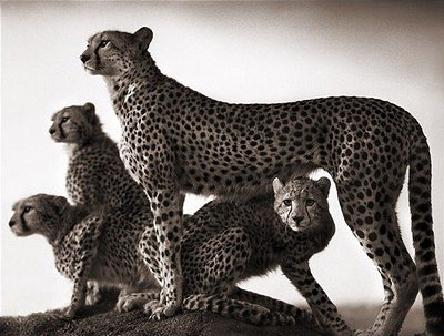cheetah_and_cubs_maasai_-_nick_brandt