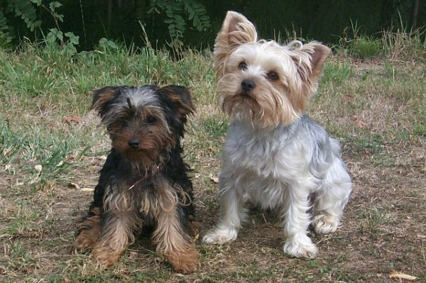club_yorkshireterrier